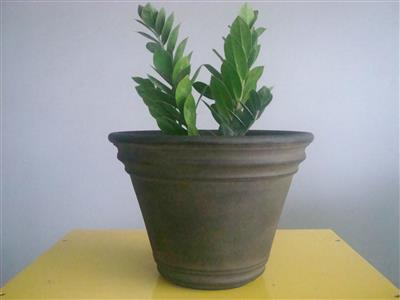 Planta Natural Arbol Fortuna